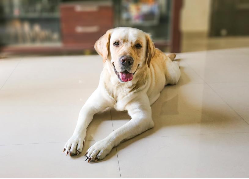 Labrador retriever dog sleeping on the floor close up